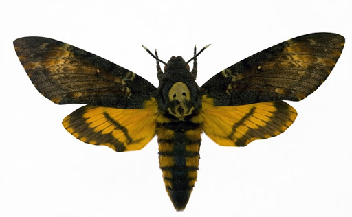 Night Hawk Moth From the movie The Silence of the Lambs